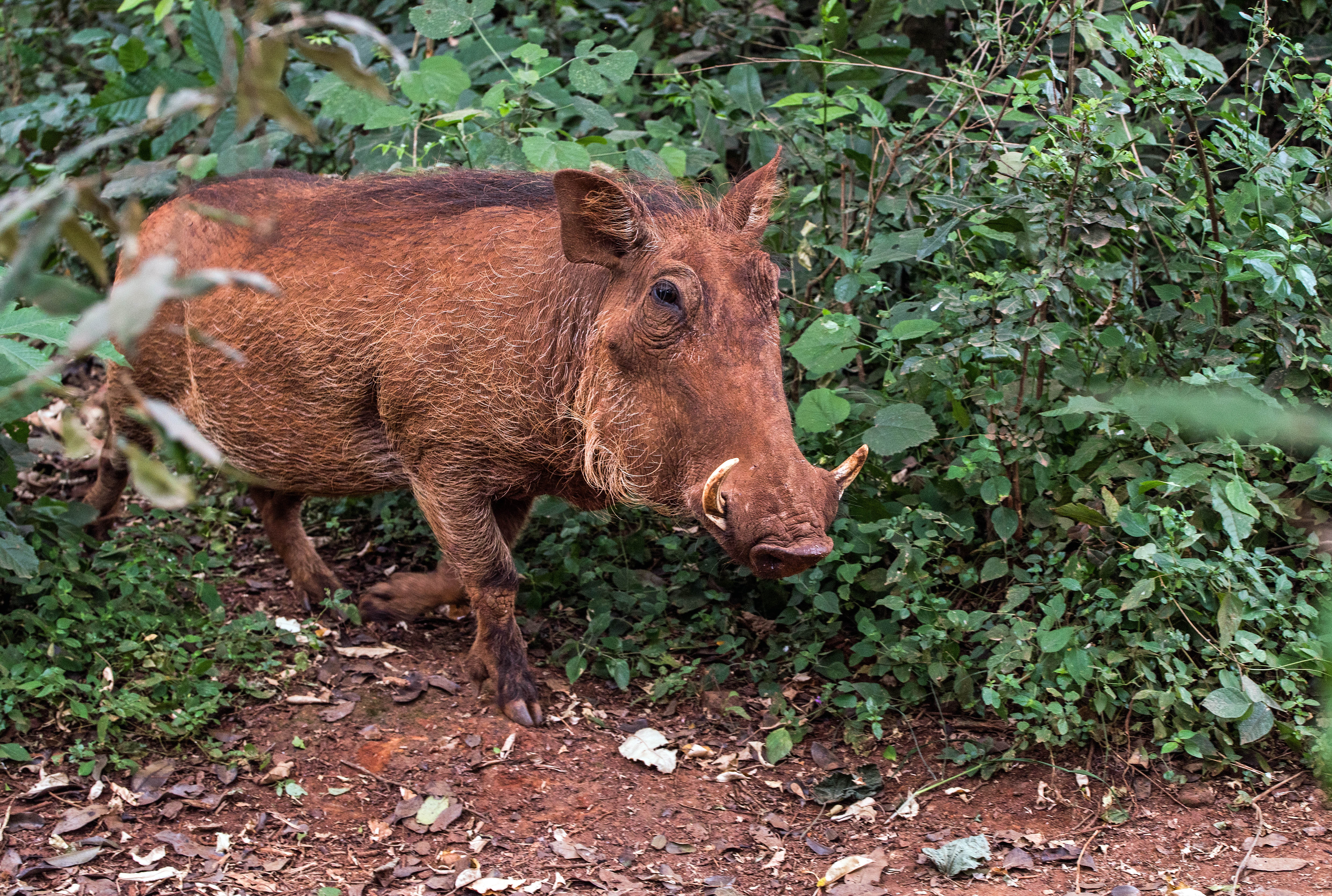Feral Hog Management Program to Continue in Hays County